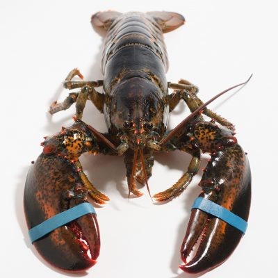 Live Maine lobster image • LV102
