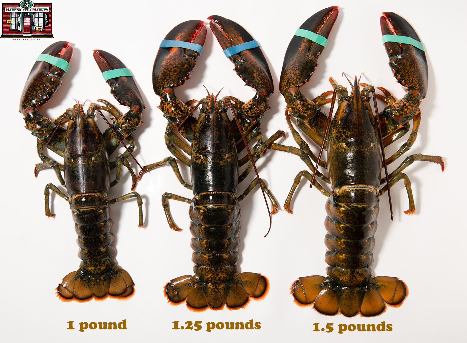 Live Maine Lobster shipped overnight! • Harbor Fish Market