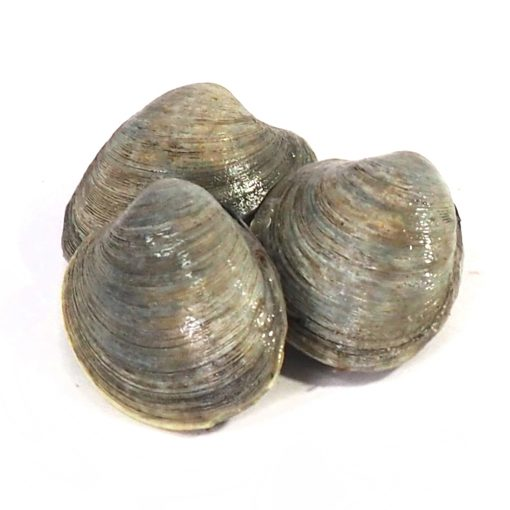 Live Countneck Clams