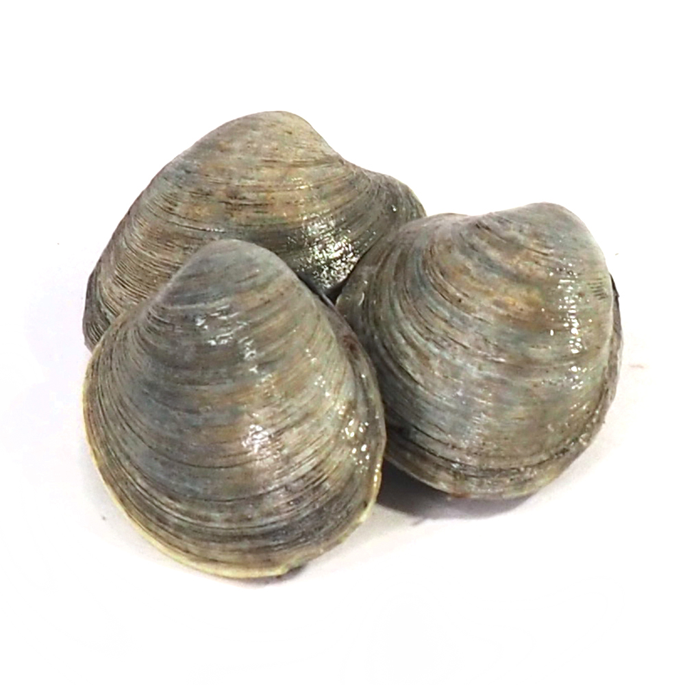 Image result for clams