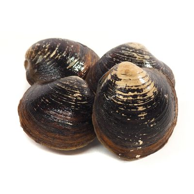 Live Maine Mahogany Clams