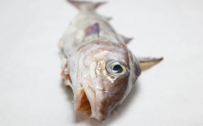 Haddock: A fish we know and love
